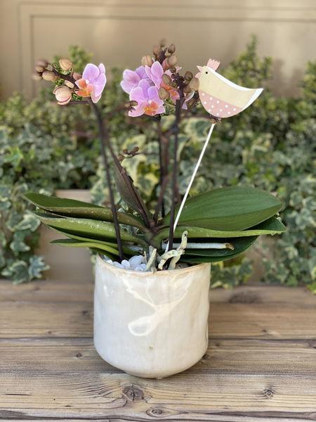 Immagine di Orchidea Piccola